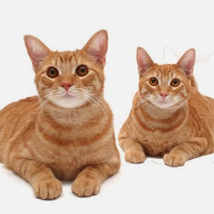 Cat Question Are All Orange Tabby Cats Male And Are All Calico Cats Female Leisure Commando Arnold Plotnick