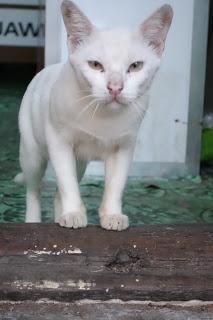 Myanmar Stray Cat