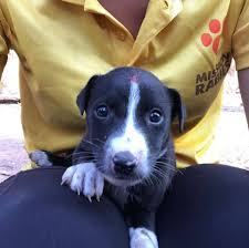 Mission Rabies Goa Puppy