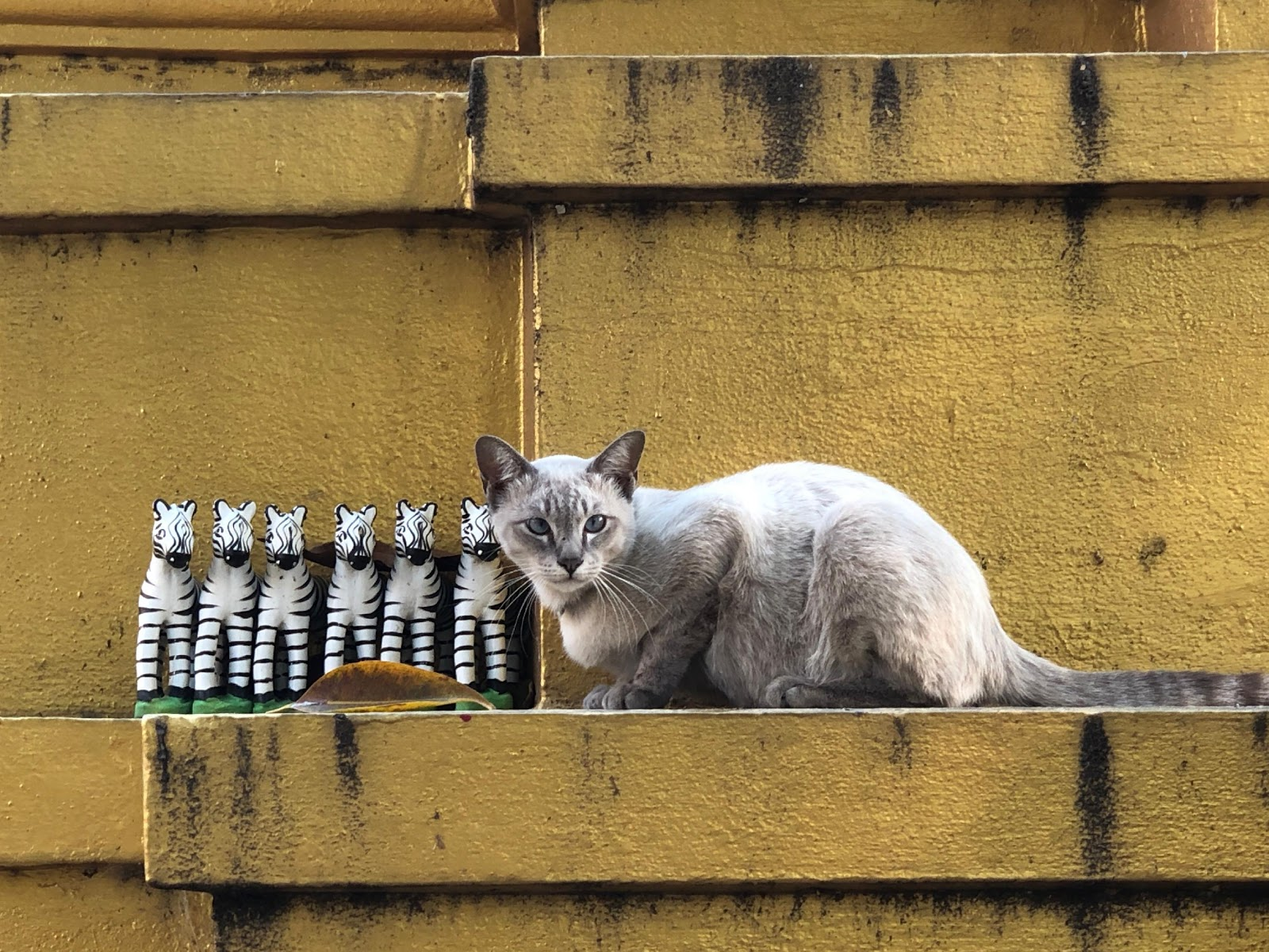 Cat in Chiang Mai Thailand