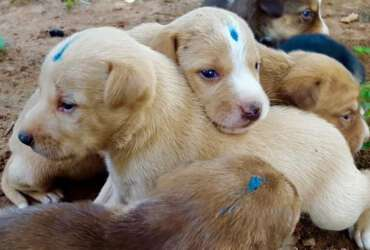 Mission Rabies Goa Puppies