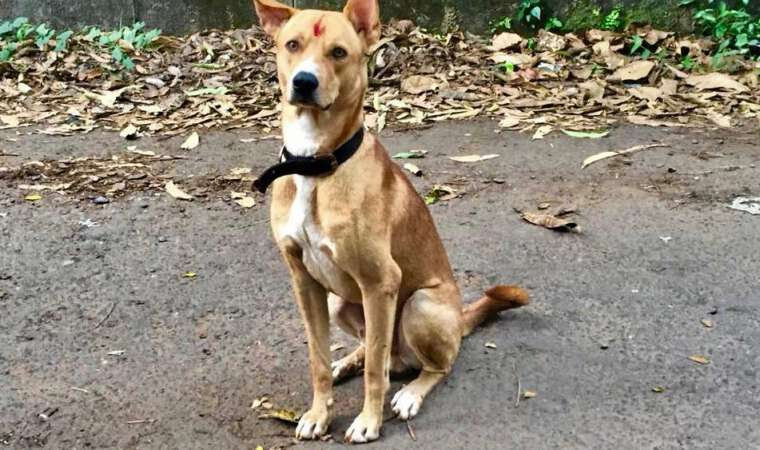 Stray Dog in Goa - Vaccinated for Rabies by Mission Rabies Goa